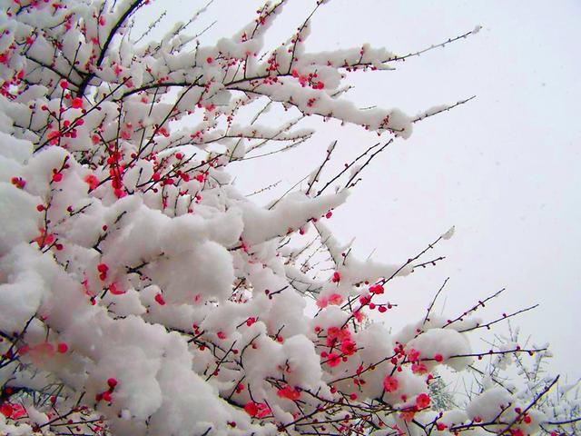 当雪花爱上梅花