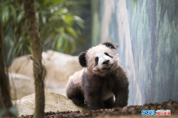 """前方高能!大熊猫""""圆梦""""萌图来袭"""