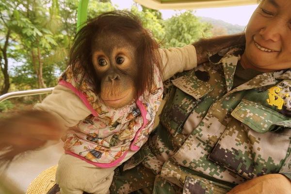 不久前我写过一篇《遇到萌猩猩二毛 瞬间心都融化了》文章,介绍了我在云南省野生动物园遇到最萌的红毛猩猩小二毛的故事。帖子发出后点击率很高,很多人表示出对二毛的兴趣。    二毛其实是一个很普通的小猩猩,出生两个月拉肚子险些不治,是有爱心的管理员李大姐把它从猩猩馆接出来单独饲养,精心照料。结果小二毛像孩子依赖妈妈那样再也无法同李大姐分开,两年来就似母女一直相随了。    在云南省野生动物园,像二毛这样的可爱动物有很多,我在拍摄二毛的同时还拍摄了斑马、鸵鸟、梅花鹿、火烈鸟、小浣熊、以及仙鹤与大老虎。    因