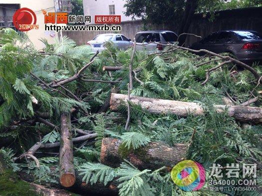 龙岩龙城春天小区大树被风刮倒 砸中两车幸无人受伤